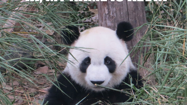 grumpy panda meme: hi, I'm Kevin Wiles. I will kung-seo your ass